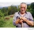 mucche al pascolo allevamento stato brado bovini prodotti tipici formaggio parmiggiano reggiano grana parco regionale frignano modena emilia romagna