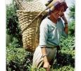 raccolta tè bevanda the uno dei migliori prodotto tipico darjeeling sikkim india
