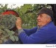 raccolta uva trebbiano per mosto cotto aceto balsamico modena emilia romagna