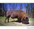 bisonte americano bisont bisont pascolo pianure parco nazionale yellowstone usa america del nord