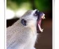 cercopiteco grigioverde cercopithecus aethiops primate mammifero maschio adulto lotte territoriali scimmia africana parco nazionale kruger