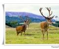 cervo maschio cervus elaphus scozia gran bretagna regno unito