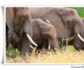 elefante africano loxodonta africana branco di femmine e cuccioli cure prolealimentazione in boscaglia mammifero parco nazionale kruger sud africa