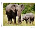 elefante africano loxodonta africana femmina con cucciolo savana parco nazionale serengeti tanzania