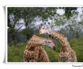 giraffa giraffa camelopardis mammifero corteggiamento di due esemplari savana parco nazionale kruger sud africa