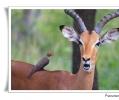 impala aepyceros melampus melampus bufaga beccorosso buphagus erythrorhynchus parassitismo gazzella africana mammifero erbivero lower sabie parco nazionale kruger sud africa