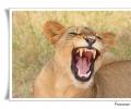 Panthera leo leone lion ruggito riposo pomeridiano pulizia pelliccia cure corpo mammifero africano savana predatore parco nazionale kruger sud africa