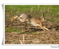 Lagomorfi, Lepre comune, Lepus capensis, Lepre in corsa mammifero campi coltivati campagna castelvetro modena