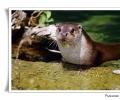 lontra lutra lutra mammifero acquatico raro in via estinzione in italia pochi siti riproduttivi salisburgo austria