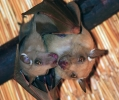 pipistrello frugifero volpe volante epomophorus crypturus mammifero notturno colonia parco nazionale kruger sud africa