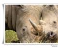 Ceratotherium simum, Rinoceronte bianco nella savana scontro tra maschi grosso corno comportamenti parco nazionale kruger sud africa specie in pericolo per bracconaggio corno