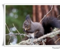 scoiattolo sciurus vulgaris roditore mammifero ricerca cibo alimentazione in mangiatoie inverno boschi di conifere montagna boschi misti ciuffi auricolari pontresina parco nazionale engadina svizzera