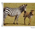 zebra di grant equus burchelli adulto con cucciolo branco savana erbivoro mammifero parco nazionale ngorongoro tanzania