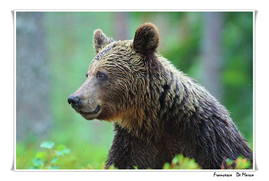 orso-finlandia-2011_194