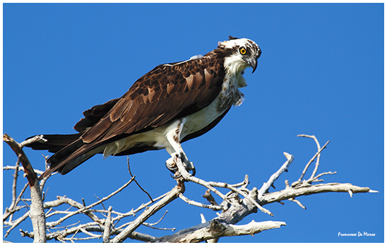 falco pescatore rio lagardos messico_5