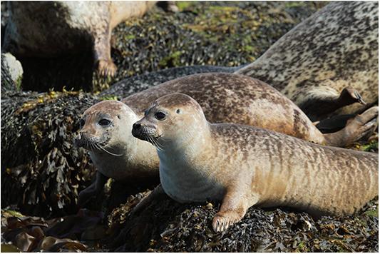 foca comune scozia 37